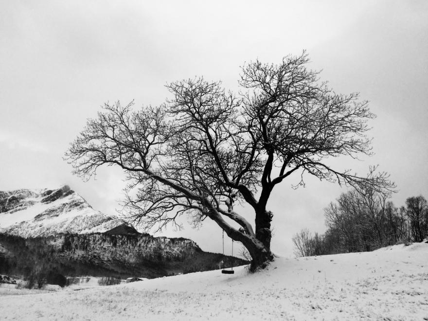 Trær i Steigen